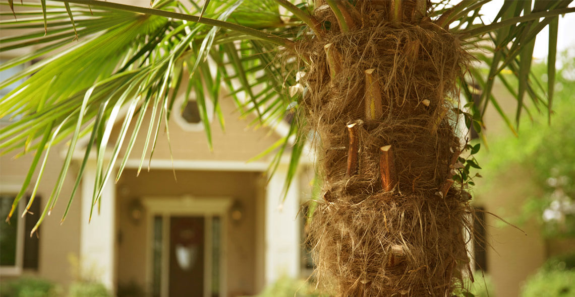 Close up of a palmetto tree in a front yard